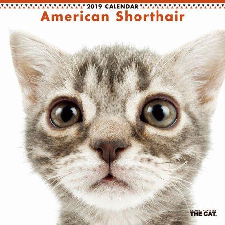 アメリカン・ショートヘアの画像 p1_8